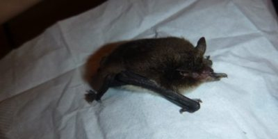 Спасение летучей мыши
